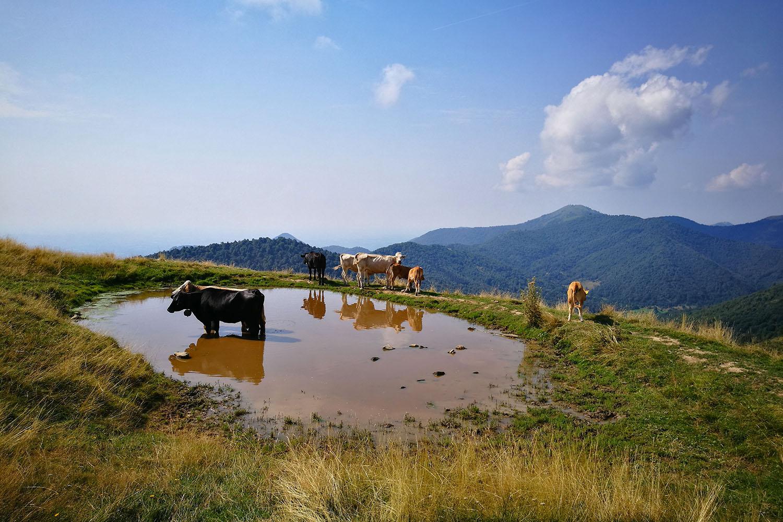 San Primo Mucche Pozzanghera